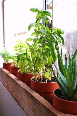 Window Sill Herb Garden (Lemongrass, Chives, Peppermint, Parsley, Vietnamese Corriander, Tuscan Blue Rosemary, African Blue Basil, Aloe)
