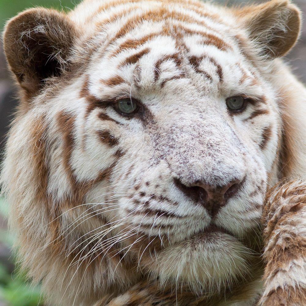 Pin by Hamesh Raniv on Cute pics of animals Tiger