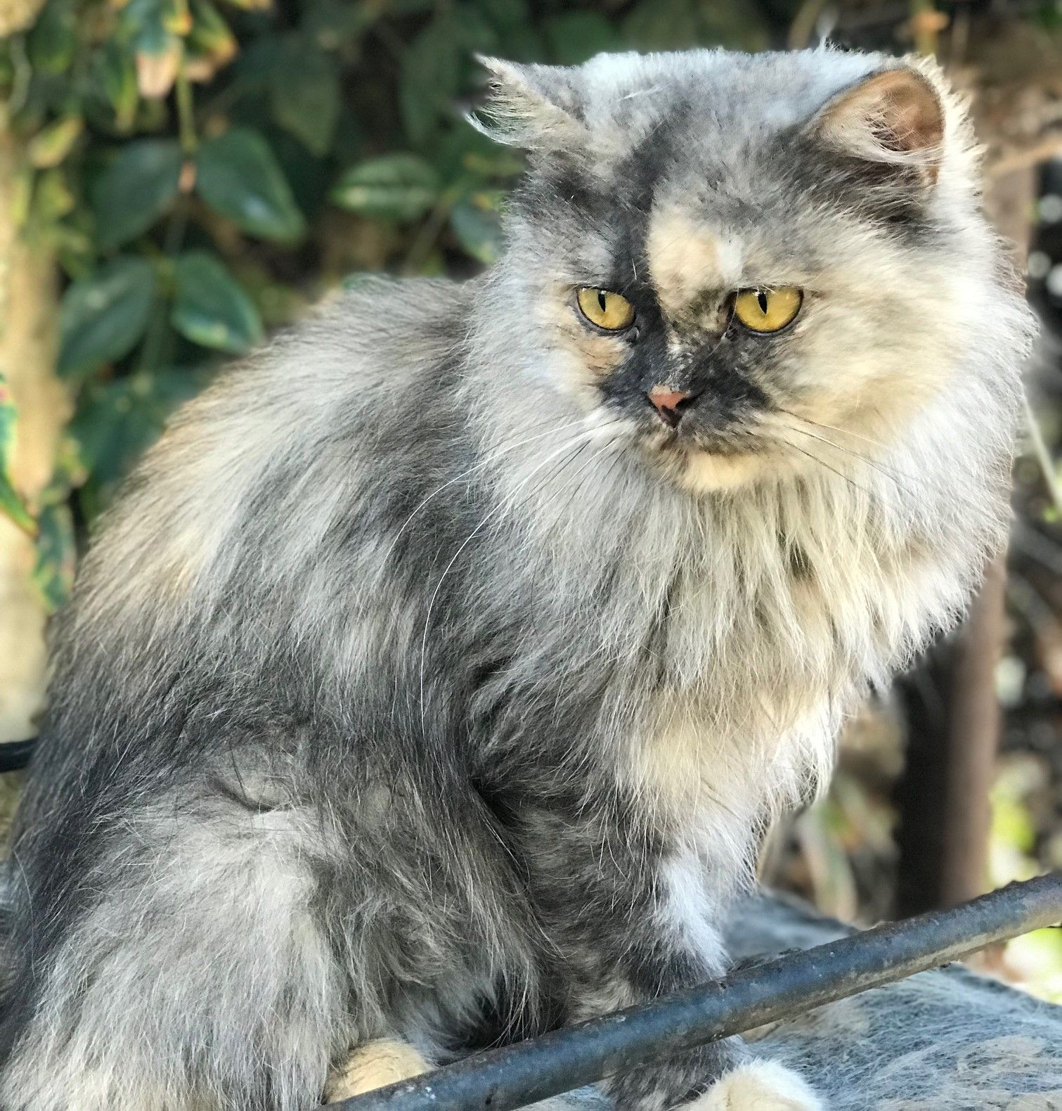 Doll faced Persian Alexandria Animals, Animal rescue, Cats