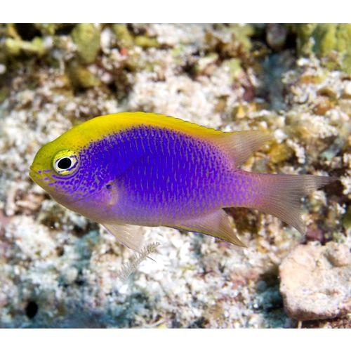 Chrysiptera Bleekeri Bleeker S Damsel Sea Fish Tropical Fish Aquarium Beautiful Sea Creatures