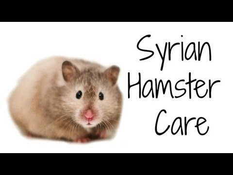 Syrian Hamster Care Hamster Care Syrian Hamster Bear Hamster
