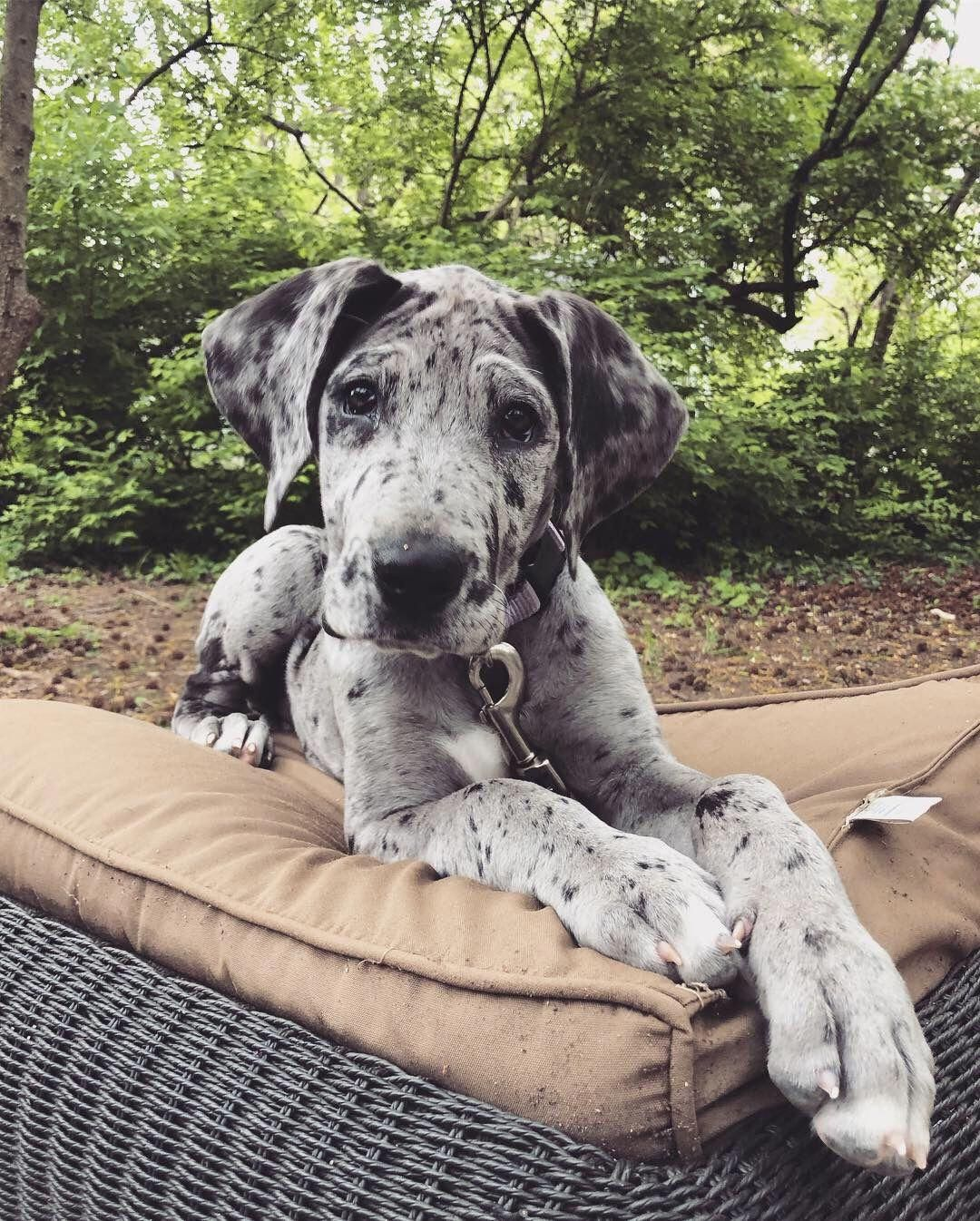 Get Great Recommendations On Great Dane Pups They Are