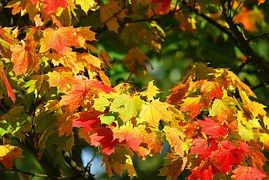 Autumn, Tree, Leaves, Red