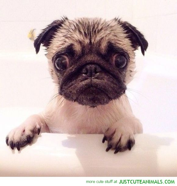 Bath Time Pug Pugs Funny Cute Pugs Cute Animals