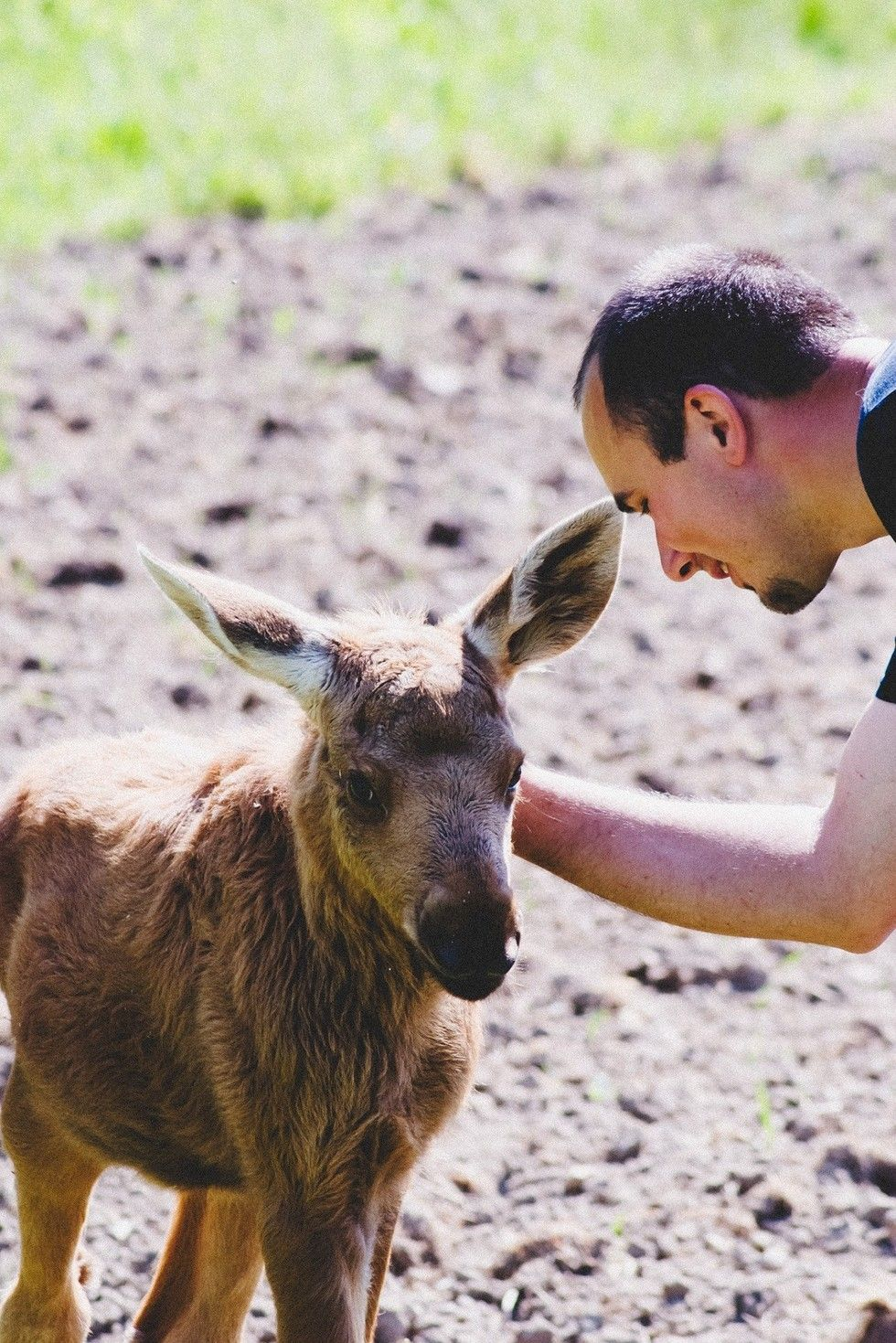 Rescued Moose Comes Back Every Day To Visit The Guy Who