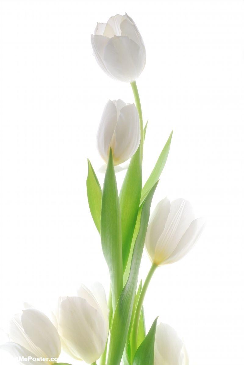Fiori Bianchi Bellissimi.Poster Of White Tulip Fiori Tulipani Foto Di Fiori