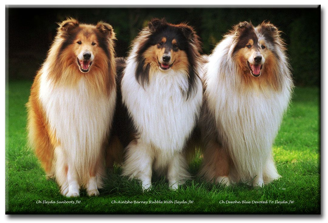 Rough Collie Breeders Uk Rough Collie Herding Dogs Sheltie Dogs