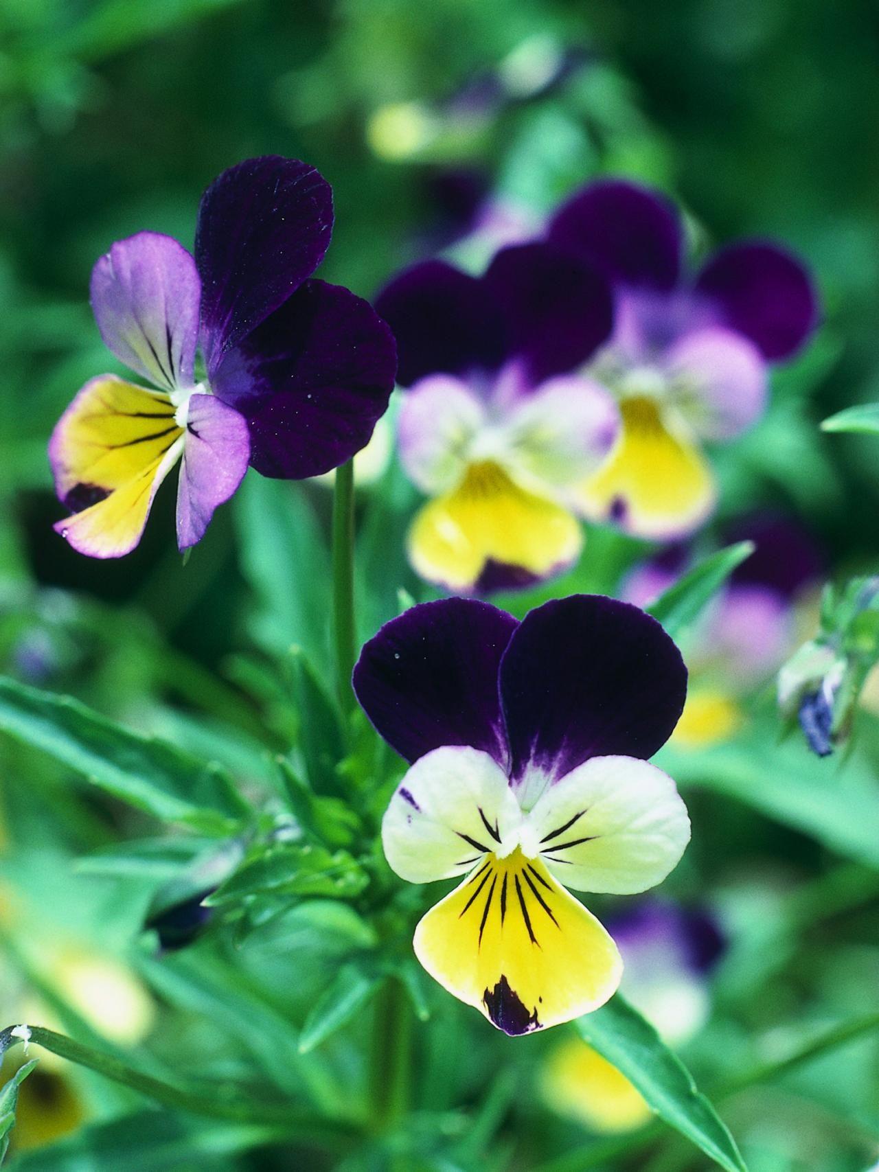 Garden of eleganceಜ pansies flowers edible flowers