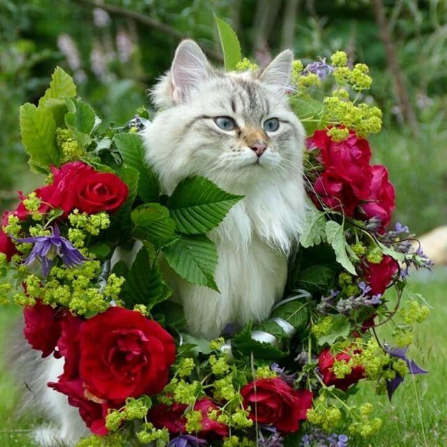 I think you over estimated the size of my neck   #petvideo #cutecat #fluffy #kitty #kitten #kittens #cat #cats #pet #pets #petstagram #petsofinstagram #catstagram #cats_of_instagram #bestmeow #meowbox #catoftheday #thecatawards #my_loving_pet #nevamasquerade #siberiancat #sibiriskkatt #excellentcats #nature_cuties #animaladdicts #katt #kattunge