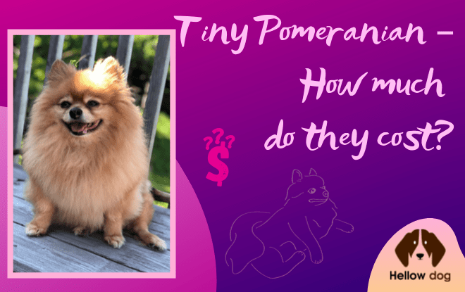 Tiny Pomeranian How Much Do They Cost