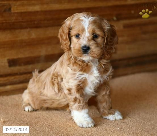 Puppies For Sale Near Me Free In 2020 Cockapoo Puppies Cockapoo Puppies For Sale Puppies And Kitties