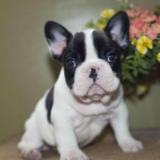 French Bulldog Puppy For Sale In Houston Tx Adn 33097 On