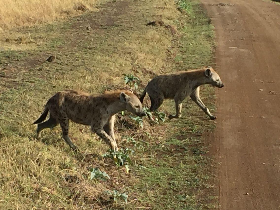 Hyenas looking for a free meal, Kenya Kenya, Hyena, Animals
