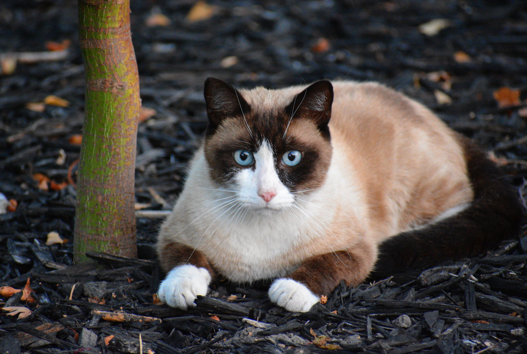 The Snowshoe Is A Mix Of American Short Hair And Siamese Cats They Are An Intelligent And Affectionate Breed That Th In 2020 Snowshoe Cat Cat Playground Cat Repellant