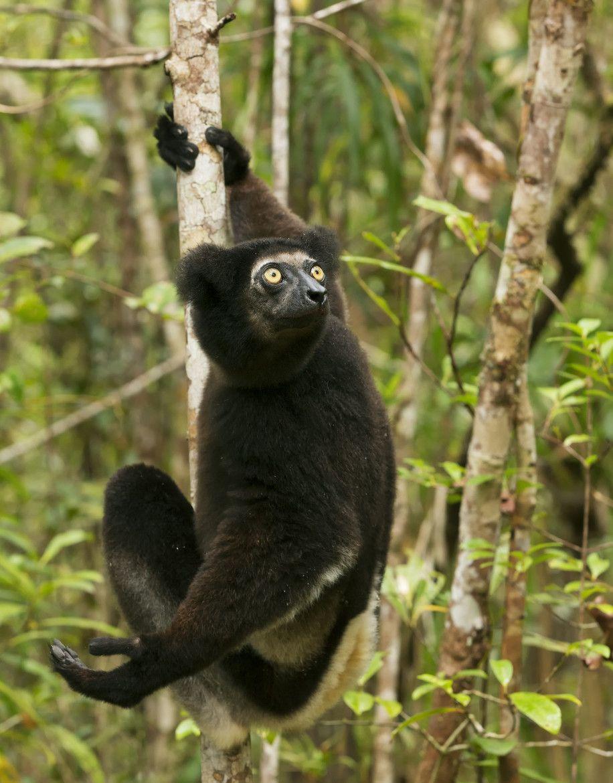 Indri, Palmarium, Madagascar by Ken Watkins