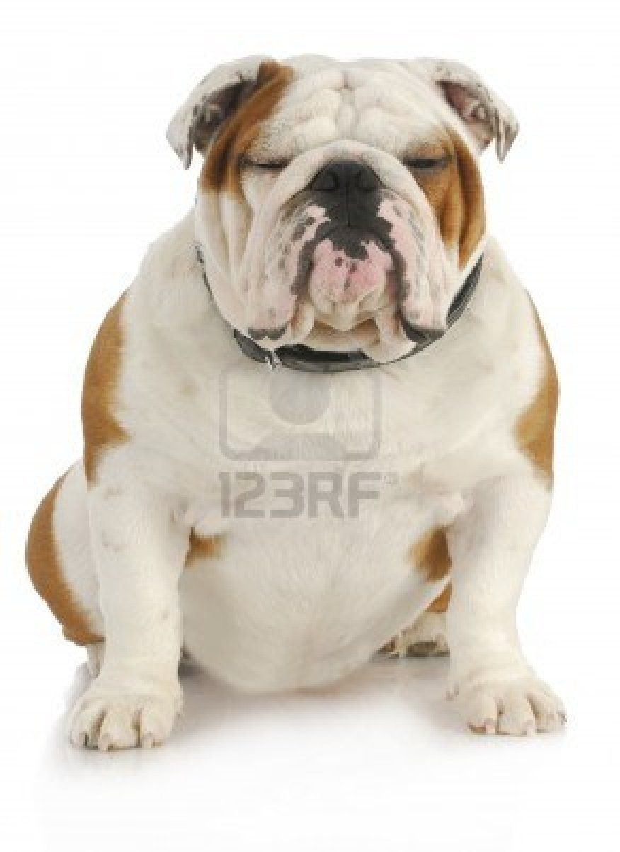 English Bulldog Bulldogs English Bulldog Care Old English