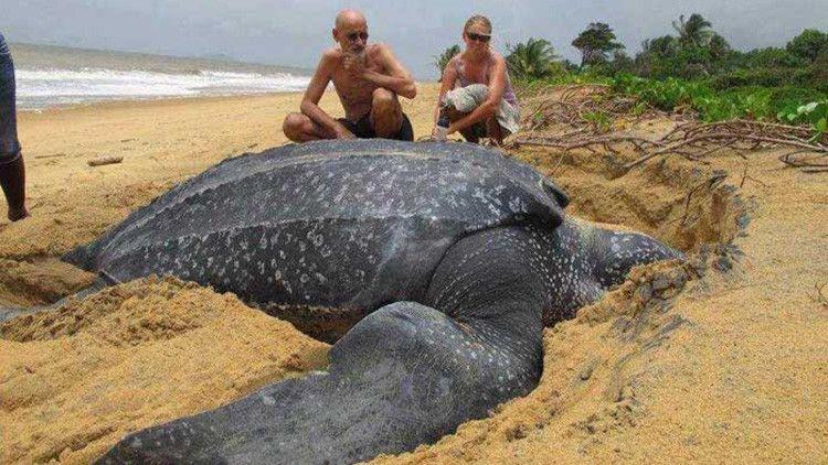 Los científicos, boquiabiertos: Hallan una enorme tortuga de 700 kilos en una playa española (VIDEO)