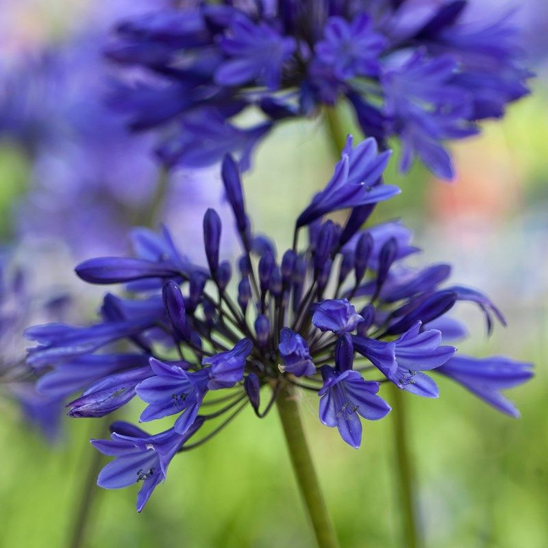 Agapanthus Midnight Star African Lily Dobbies Garden Centres Agapanthus Cottage Garden Plants Lilly Flower
