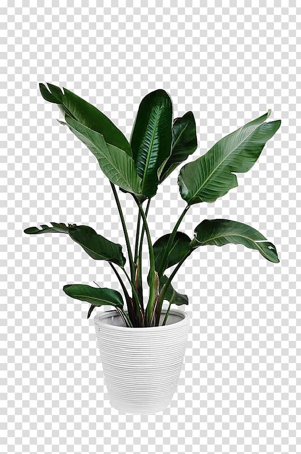 Arecaceae Plant Leaf Palm Branch Potted Green Plants Green Leafed Plant And White Plant Pot Transparent Backgrou White Plants Plant Wallpaper Plant Aesthetic
