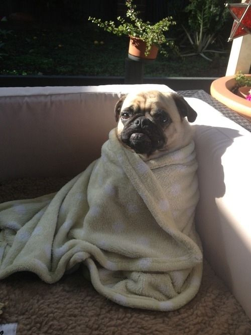 Dog Wrapped In Blanket Meme : wrapped, blanket, Wrapped, Towel:, Pugs,, Animals