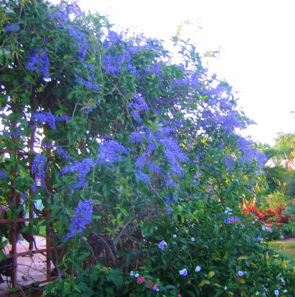 Tropical Wisteria or Petrea Vine for Zone 10 or 11. Needs a strong trellis. Florida cottage gArden.