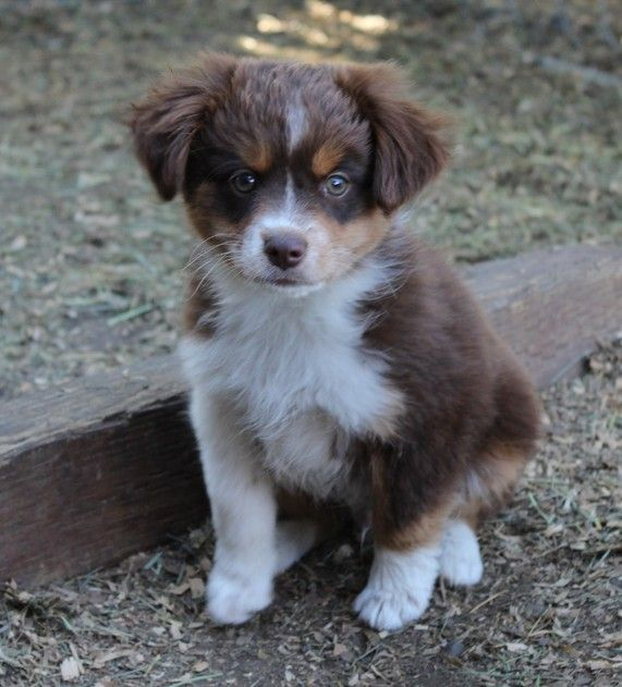 Brown Miniature Australian Shepherd  Sales Shipping And Contract