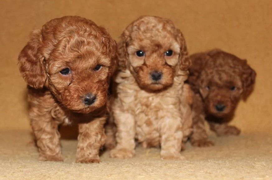 72 Female Poodle Dog Names Dog Names Best Dog Names Dogs