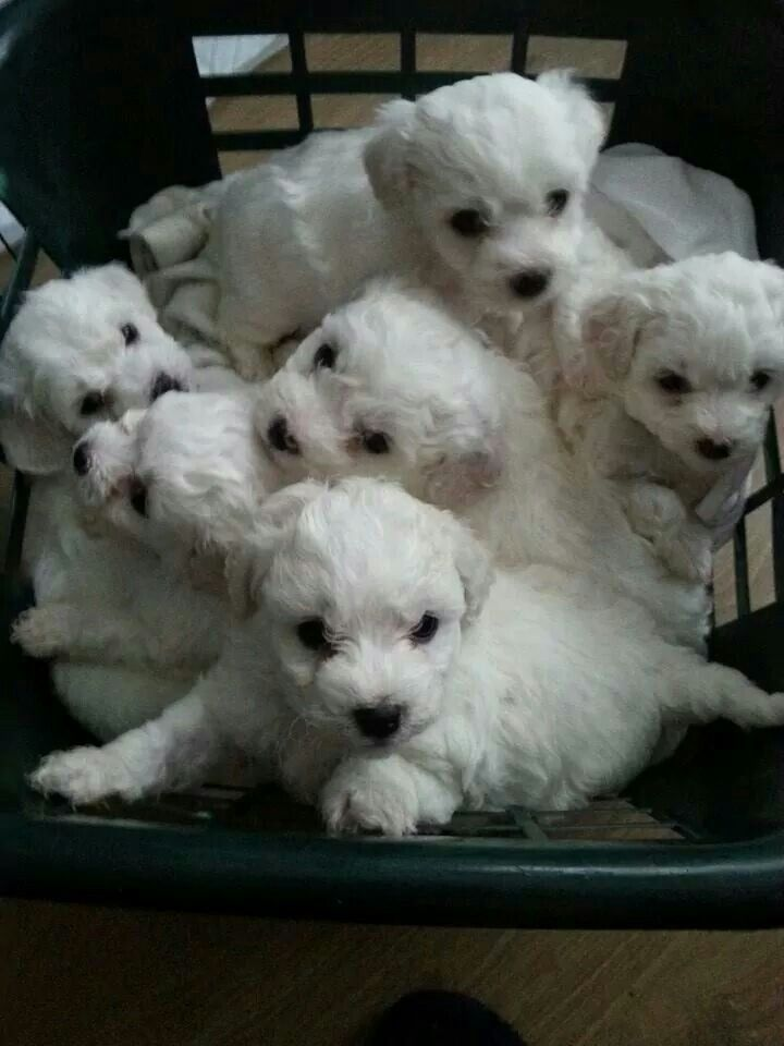 Nothing Is As Adorable As A Litter Of Bichon Puppies Hands Down