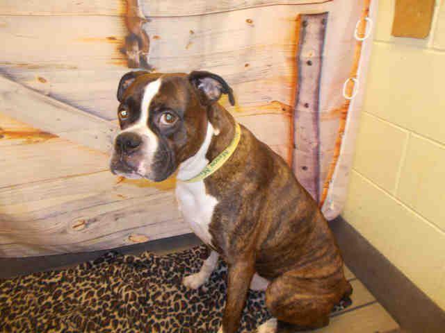 Boxer dog for Adoption in Forestville, MD. ADN590819 on