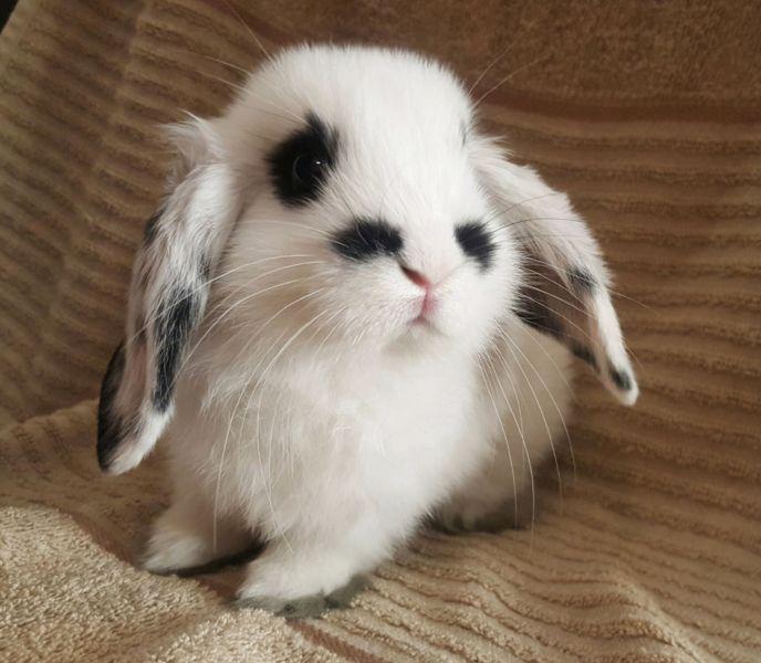 Mini Lop baby rabbit boy Rabbits Gumtree Australia