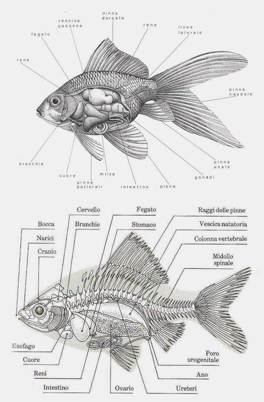 Goldfish Anatomy - Anatomy Drawing DiagramAnatomy Drawing Diagram