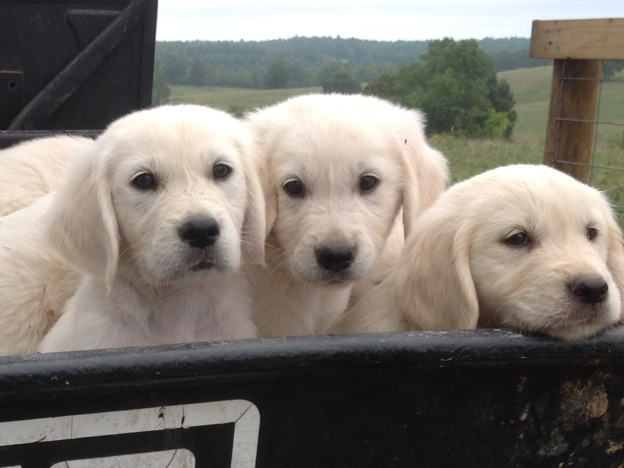 Pin by Olivia Smith on Puppies English golden retrievers
