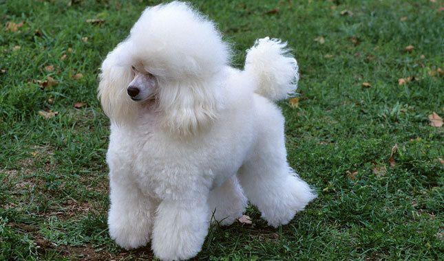 Toy Poodle Dog Breed Dog breeds, Yorkshire terrier