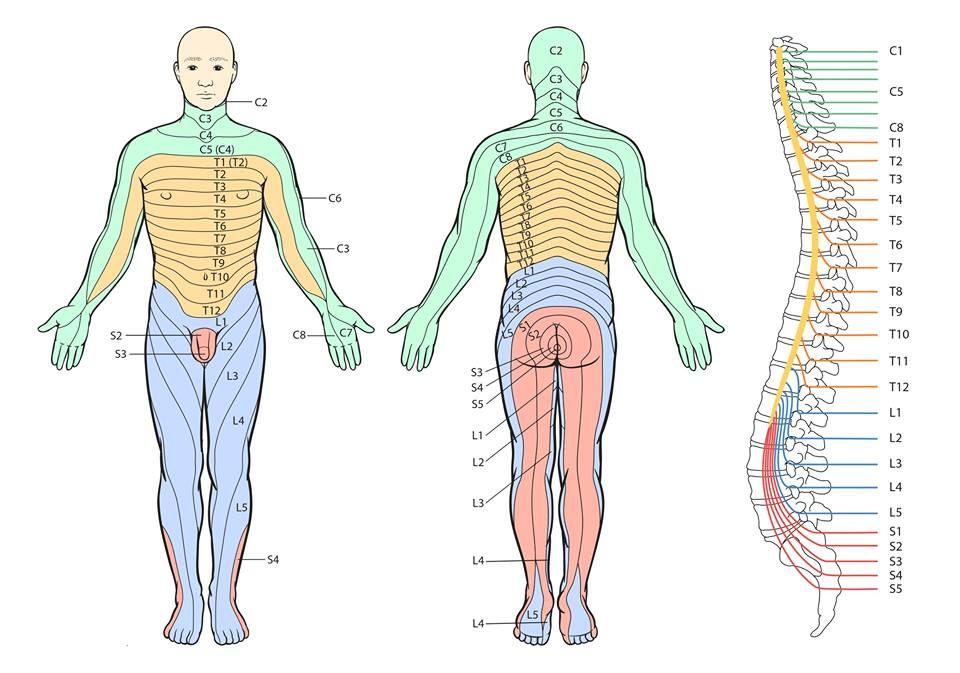 Dermatomas y miotomas - Medicina | Pinterest