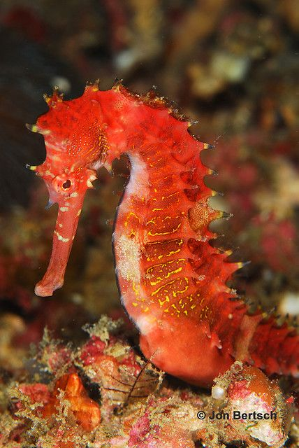 """Red Sea Horse - """"Beautiful red sea horse found at 90 feet.  Taken in Puerto Galera, Phillipines"""" - Flicker - Photo Sharing"""