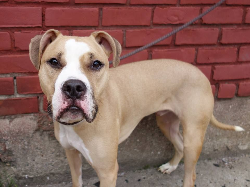 GONE --- TO BE DESTROYED - 10/08/14 Brooklyn Center -P  My name is MAXIMUS. My Animal ID # is A1015543. I am a neutered male brown and white pit bull mix. The shelter thinks I am about 2 YEARS old.  I came in the shelter as a OWNER SUR on 09/27/2014 from NY 11432, owner surrender reason stated was INAD FACIL.   https://www.facebook.com/photo.php?fbid=882308088448738