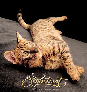 Stylisticat International Savannah Cats Savannah kitten