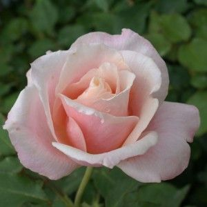 Oyster Pearl | Ludwigs Roses