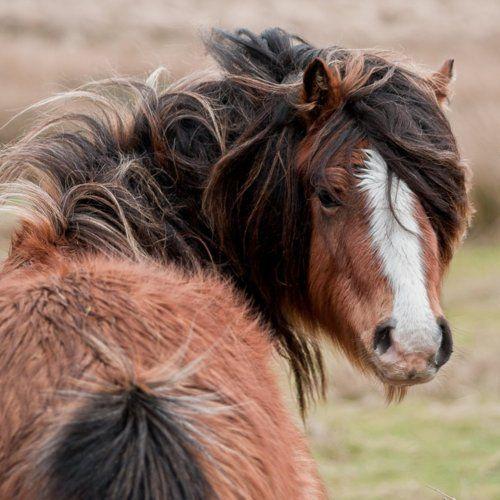 35+ Shaggy horse information