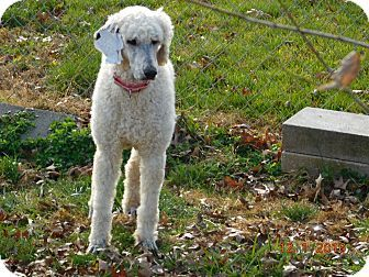 Moscow Mills Mo Poodle Standard Meet Mickey A Dog For