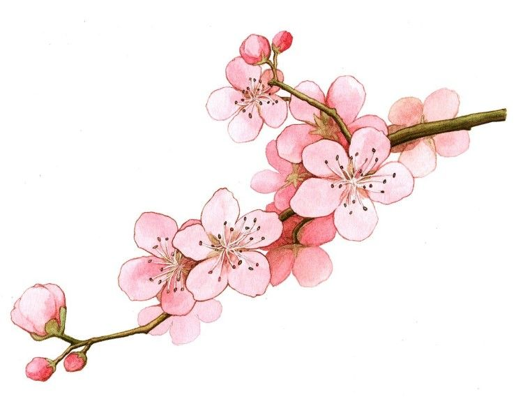 cherry blossom drawing - 722×584