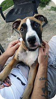 Mechanicsburg Pa Mastiff Boxer Mix Meet Chico A Puppy For