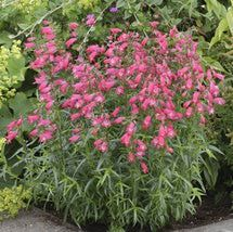 Fleuroselect Award Winning Flowers for 2014: Penstemon 'Carillo Red'