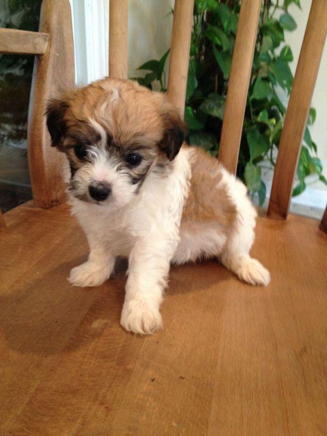 Jack Russell Terrier X Bichon Frise Pet Dream Pinterest