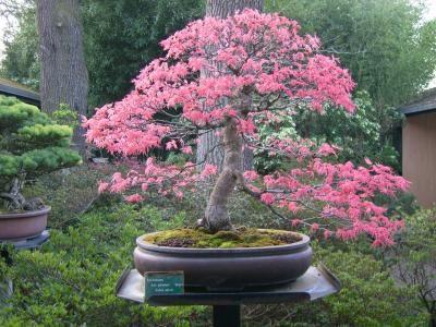 Weeping Cherry Bonzai Wisteria Tree Tree Seedlings Bonsai Soil