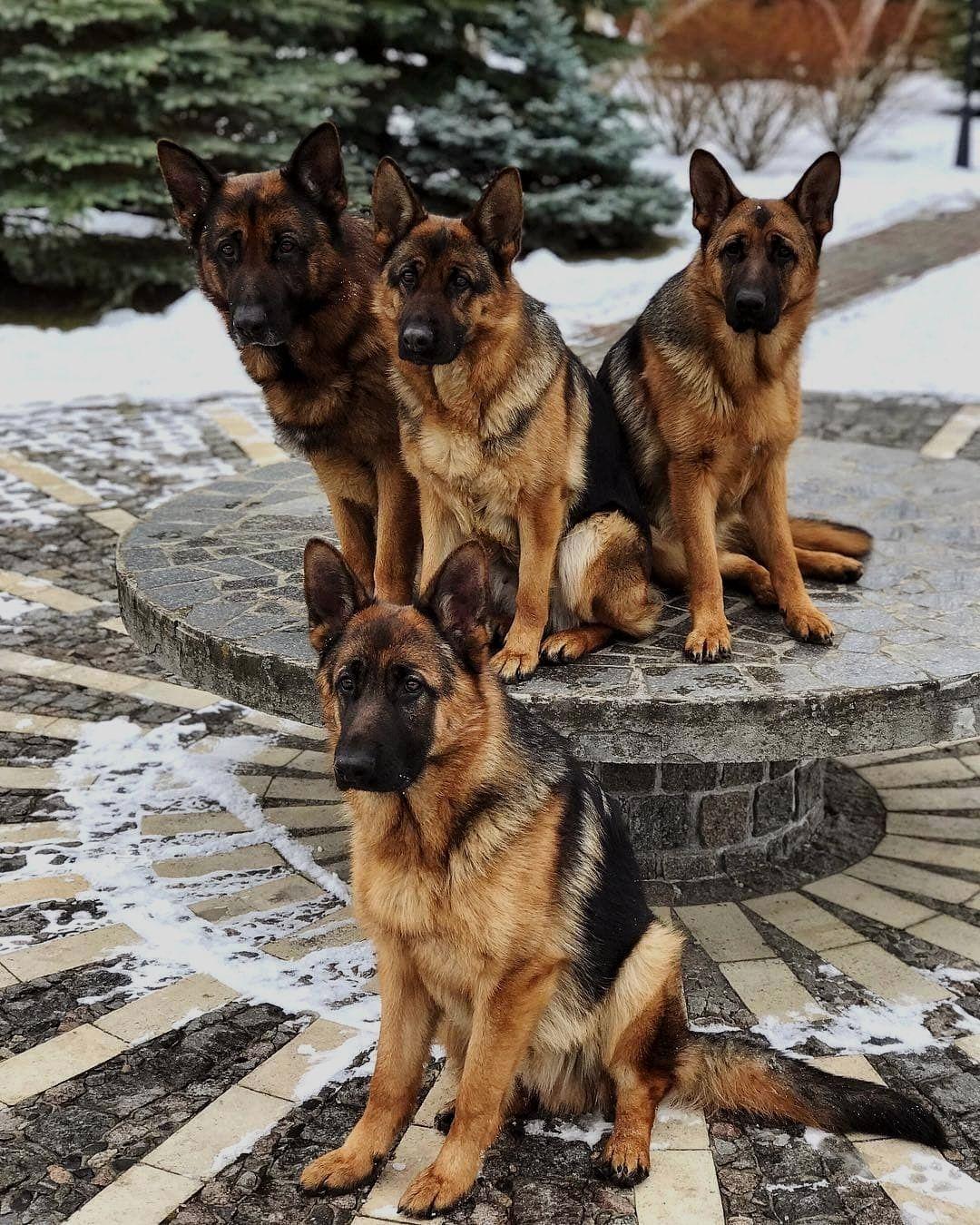 German shepherd central in 2020 german shepherd puppies