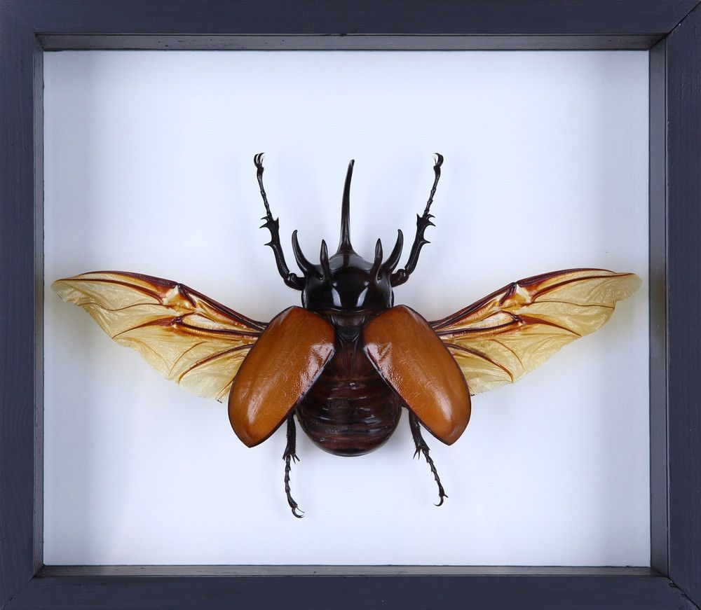 Real Male Eupatorus Five Horned Rhinoceros Beetle Insect Taxidermy Framed Box