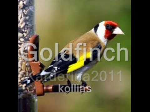 Another Amazing Goldfinch Song Animal Sounds Goldfinch Birds