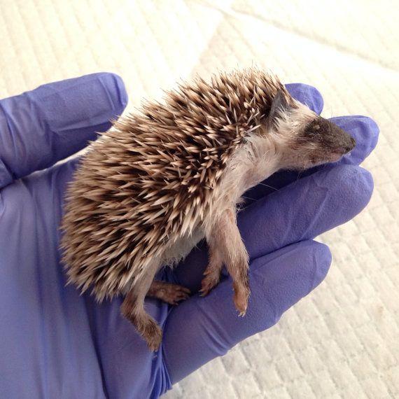 Baby Hedgehog Wet Specimen, Preserved Specimen (Number 2)