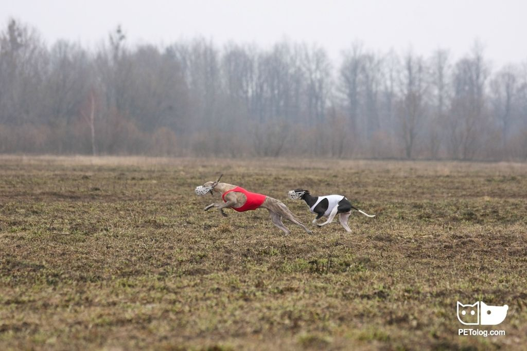 Images — Competitions — Lure Coursing, Kaliningard, 26 March 2016